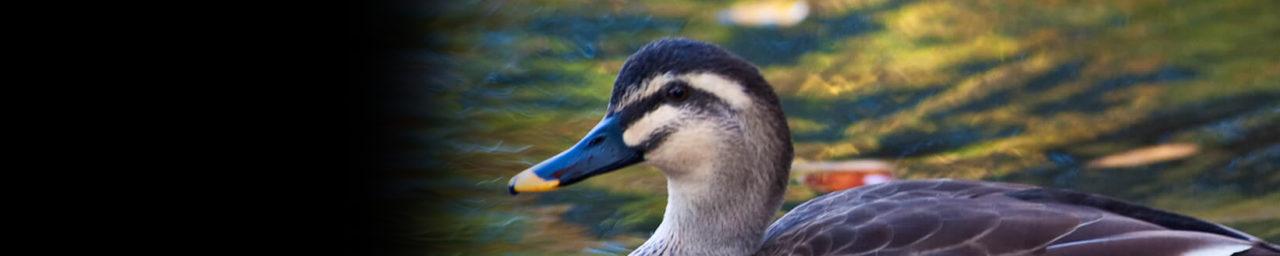 あひ鴨のひとりごと | 相鴨鳥安